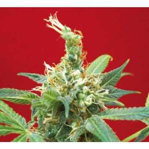 Positronic Seeds Claustrum Feminised cannabis seeds