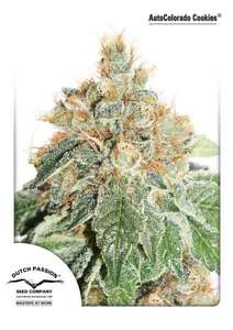 Dutch Passion Colorado Cookies Auto Feminised cannabis seeds