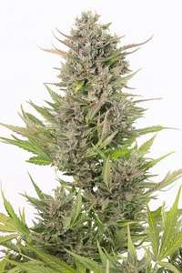 Dinafem Seeds Critical + CBD Auto Feminised cannabis seeds