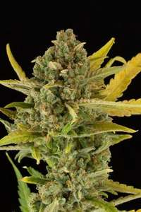Dinafem Seeds Critical Cheese Auto Feminised cannabis seeds