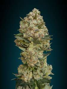 Advanced SeedsCritical Feminised Seeds