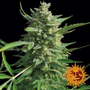Barney's Farm SeedsCritical Kush Feminised Seeds