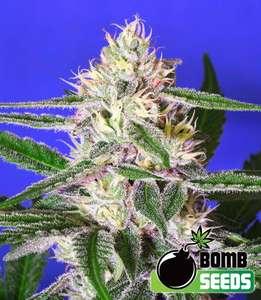 Bomb Seeds Edam Bomb Feminised cannabis seeds