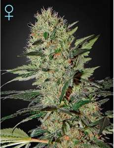 Greenhouse Seed Co.Exodus Cheese CBD Auto Feminised Seeds