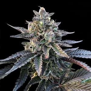 DNA Genetics Gelato Sorbet Feminised(Sorbet Collection) cannabis seeds