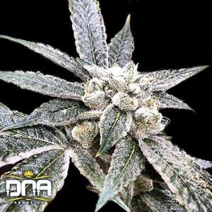 DNA Genetics Golden Berry Feminised cannabis seeds
