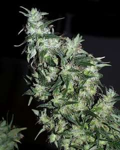 KC Brains Haze Special Feminised cannabis seeds