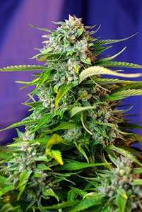 Sweet Seeds Jack 47 Auto Feminised cannabis seeds