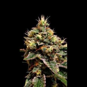 BlimBurn Seeds Kabrales Feminised cannabis seeds