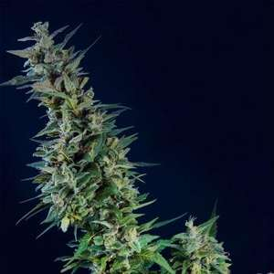 Kannabia Seeds Kama Kush CBD Feminised cannabis seeds