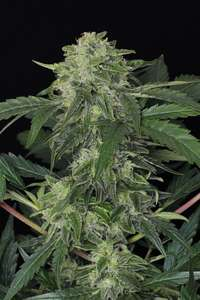 Exotic Seeds Jungle Fever Auto Feminised cannabis seeds