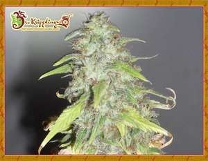 Dr Krippling Seeds Kripple Shock Feminised cannabis seeds