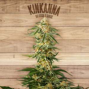 The Plant Kinkanna Feminised cannabis seeds