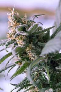 Subcool Seeds/TGA GeneticsLemon Stilton Regular Seeds
