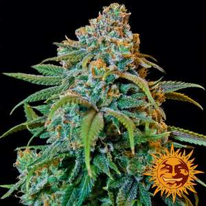 Barney's Farm Seeds Liberty Haze Feminised cannabis seeds