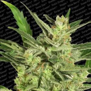 Paradise Seeds Maria II Auto Feminised cannabis seeds