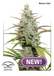 Dutch Passion Mokum's Tulip Feminised cannabis seeds