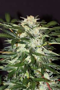 Exotic Seeds Monster Mash Auto Feminised cannabis seeds