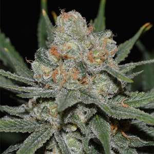 Genehtik Seeds Nevil Bilbo Auto Feminised cannabis seeds