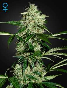 Greenhouse Seed Co.Northern Lights Auto Feminised Seeds