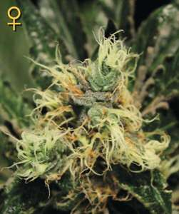 Greenhouse Seed Co.Pure Kush Feminised Seeds
