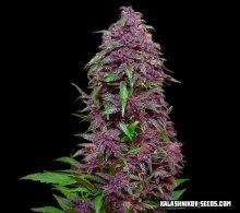Kalashnikov SeedsPurple Mazar Auto Feminised Seeds