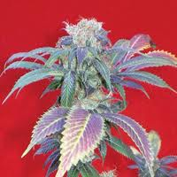Positronic SeedsPurple Haze # 1 Feminised Seeds
