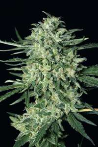 Exotic SeedsQuick Mass Feminised Seeds