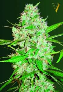 Victory SeedsRed Russian XXL Auto Feminised Seeds