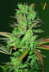 Victory SeedsSeemango Feminised Seeds