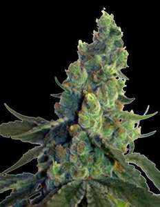 Norstar GeneticsSour Chelumbian Regular Seeds