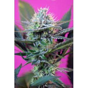 Sweet SeedsSpeed + Auto Feminised Seeds