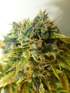 Flash SeedsStrawberry Jam Auto Regular Seeds - 8
