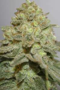 Digital GeneticsThe Durban Special Regular Seeds - 12