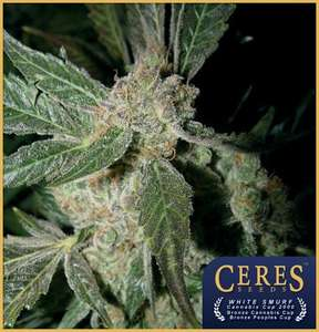 Ceres SeedsWhite Panther Feminised Seeds