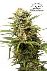 Dutch PassionWhite Widow Auto Feminised Seeds