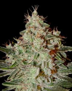 Lemon Skunk Auto Feminised Seeds