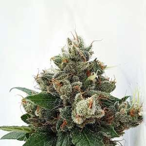 Respect 4 Gorilla Feminised Seeds