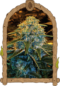 Z & Z Feminised Cannabis Seeds by Exotic Seeds