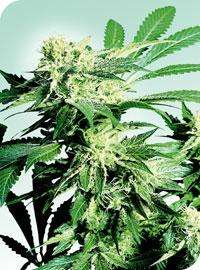 Sensi Seeds Skunk Kush Regular cannabis seeds