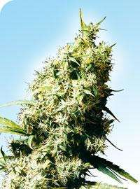 Sensi SeedsJamaican Pearl Regular Seeds