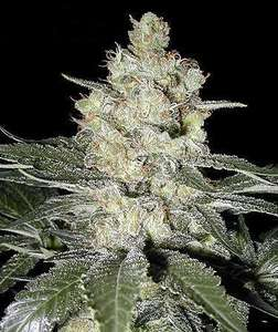 SeedsmanOriginal Skunk #1 Feminised Seeds
