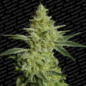 Paradise Seeds ALLKUSH formerly Sheherazade Feminised cannabis seeds