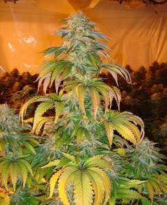 Paradise Seeds Spoetnik #1 Feminised cannabis seeds
