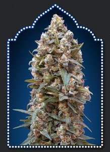 00 Seeds 00 Kush Feminised cannabis seeds