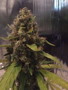 CBD Crew 3D CBD Regular cannabis seeds