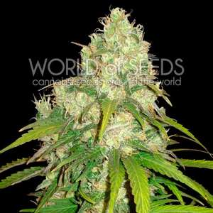 World of Seeds Afghan Kush x Yumbolt Feminised cannabis seeds