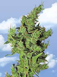 Flying DutchmenAmsterdam Mist Feminised Seeds