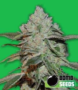 Bomb Seeds Atomic Feminised cannabis seeds