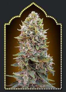 00 SeedsAuto Cheese Berry Feminised Seeds
